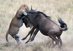 A protective Wildebeest mother leaves a leopard licking its wounds after a failed attack. The predator stalked and then pounced on a seeming. African Animals, African Safari, Wilde Life, Blue Wildebeest, Different Types Of Animals, Happy Animals, Leopards, Nature, Lion