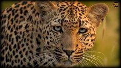 A beautiful Xidulu keeping an eye on @Tristan1986 and camerman Craig on #safarilive 3-26-18 Laura B from Alabama (@lauragaile) | Twitter