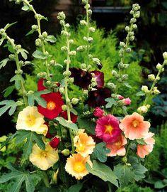 Sensation mix PENSTEMON 1200 seeds PERENNIAL FLOWER BEARDTONGUE