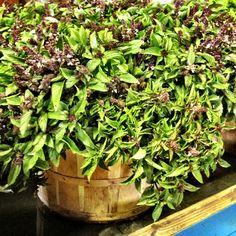 Cinnamon Basil! Also Lemon Basil, and Italian Large Leaf Basil at T.O. markets tomorrow :) #SosnickiHarvest