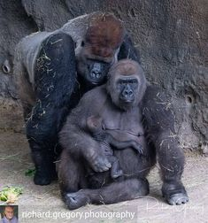 Gorilla family with dad standing protectively behind mom as she nurses her new baby. (Richard Gregory) I bet this mom and baby don't get picked on. Nature Animals, Animals And Pets, Baby Animals, Funny Animals, Cute Animals, Wild Animals, Primates, Mammals, Gorila Albino