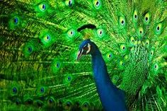 Image result for peacock
