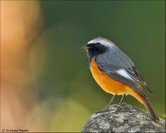 Hodgson's Redstart - Bhutan, China, India, Myanmar & Nepal