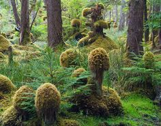 """carex: """" ushishir: """" whisperingwillow: """" ~ Goblins and things ~ © Adam Gibbs Tow Hill Ecological Reserve, Queen Charlotte Islands, British Columbia - Canada """" """" The Places Youll Go, Places To See, Haida Gwaii, Western Canada, Old Trees, Canada Travel, Countries Of The World, Ecology, British Columbia"""