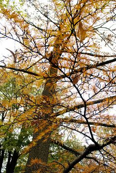 Golden larch (Pseudolarix amabilis) - A feature of the 1904 World's Fair in St. Louis, this tree was long forgotten until 1953 when a woman wore a sprig of golden larch in her corsage to a social event @ the Missouri Botanical Garden