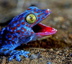 Beautiful blue gecko