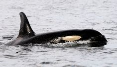 Remembering Wanda, The First Killer Whale Taken Into Captivity