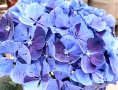 HGTV HOME Plants - Peppermint Swirl™ hydrangea in blue. Hydrangea bloom color depends on soil pH. Change your hydrangea blooms from pink to blue by adding aluminum to the soil and lowering its acidity (consult your local garden center). #showstopperhydrangeas #knowhow!