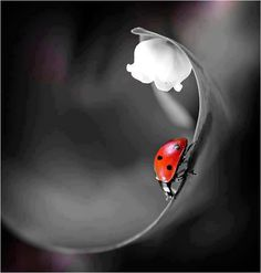 *Ladybug (Touch of Color) Splash Photography, Macro Photography, Animal Photography, Wildlife Photography, Color Splash, Color Pop, Photo Coccinelle, Fotografia Macro, Foto Art
