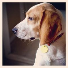 Toby the Beagle on Puppystream.me