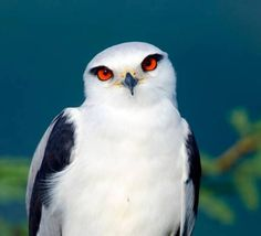 Black-shouldered Kite (Elanus axillaris) by Rajesh Shah