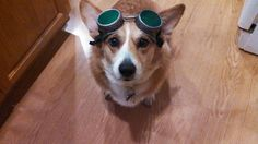 Steampunk corgi Lola is ready to drive the airship! Just call her Cid.