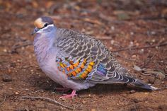 Bronzewing pigeon  (Phaps calcoptera).  Western Australia Photography by Marc Russo