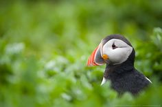 Atlantic Puffin by Will Nicholls