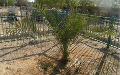 #Extinct tree #resurrected from #ancient #seeds is now a dad