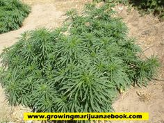The flowering stage of marijuana plants requires you to know more than just the basics. Remember that when your weed plants start to bloom, you need to do certain tasks that could spell the difference between success and failure.  http://growingmarijuanaebook.com/flowering-cannabis.php