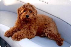 Red Australian Labradoodle! In love! <3