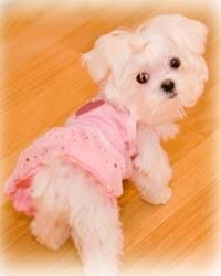 Maltese Puppies...I've never been a frilly dog person but this ones cute!!!