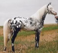 AraAppaloosa, a cross between an Arabian horse and an Appaloosa. As both breeds are noted for endurance and intelligence, the resulting cross is usually able to excel at endurance riding as well as other disciplines performed by either breed. Pretty Horses, Horse Love, Beautiful Horses, Animals Beautiful, Cute Animals, Horses And Dogs, Show Horses, Rare Horses, Horse Photos
