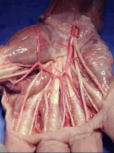 Muscles and tendons in the human hand.