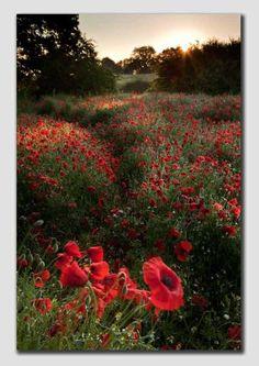 Morning Poppies  --waynebrittlephotography.com--