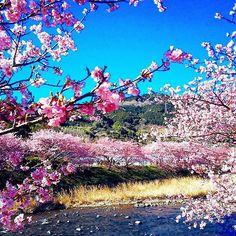 【hiroko061626】さんのInstagramをピンしています。 《まだまだあるよ河津桜pic😜💓w  伝わるかしらこの青空、満開の桜、透き通る清流。  河津桜はソメイヨシノよりも濃いピンクが本当に華やか!見頃も長い品種で、長く楽しめるから、この地域の方が羨ましい! 河津桜まつりの売り子さんやりたいな~😊♥ふふ #河津桜 #写真撮ってる人と繋がりたい #写真好きな人と繋がりたい  #東京カメラ部  #ファインダー越しの私の世界  #カメラ女子  #はなまっぷ #はなまっぷ桜 #桜  #flowers  #日本の絶景 #日本の風景  #retrip_nippon  #retrip_news  #retrip  #igersjp #ig_japan  #photo_shorttrip  #photooftheday  #lovers_nippon  #japan  #おさんぽ  #おでかけ  #休日の過ごし方 #真夜中pic》