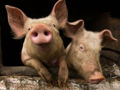 Pigs are more intelligent than dogs, extremly clean animals, very social and sensitive. They learn from each other and the sow sing to her piglets during the feeding.