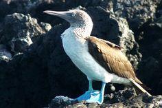 Galapagos fou à pattes bleues