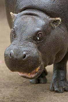 46 Best Hip Hippos Images On Pinterest