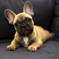 My future French bulldog
