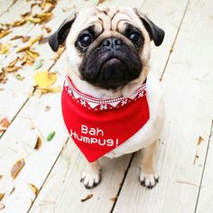 Evening! I just wanted to let you know my hoomans have added this new Bah Humpug bandana to their shop! If you want to be twinsies and the cutest Christmas pug in town check out their shop @bourne_wild_petwear  Beep Beep Coming through ladies   Reposted from @arniespuglife  #pugs #pugsofinstagram #pugstagram #pugsproud #whitepug  Tag your friends by pugsproud