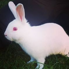 10. Albino bunnies aren't rare at all, but they're still adorable.