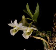 Dendrobium Oligophyllum | Dendrobium oligophyllum