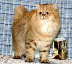 Persian Cat - Golden, Persian Longhair, Longhair Cat