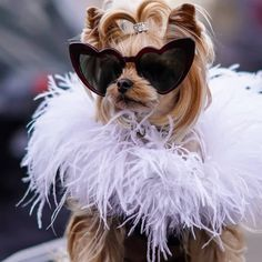 As seen in The all the way! Heart Sunglasses, Cat Eye Sunglasses, Yorshire Terrier, Cute Puppy Wallpaper, Yorkshire Terrier Dog, Cute Baby Animals, Animal Photography, Yorkie, Cute Puppies