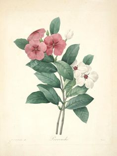Periwinkle, Plate 44 by Pierre-Joseph Redoute | Art Posters & Prints
