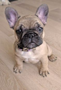 French Bulldog - Bulla french-bulldog #Buldog