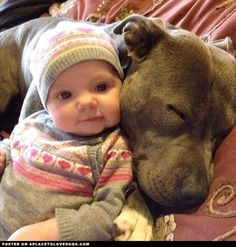 Pit bulls Make Great Pillows! | Baby cuddling with sweet pittie | Pit bull love:
