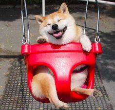 這隻柴犬一坐上鞦韆就露出超萌笑容,10萬網友瘋狂按讚直呼「實在太療癒啦」! - COCO大马站
