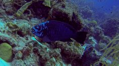 Midnight Parrot Fish.
