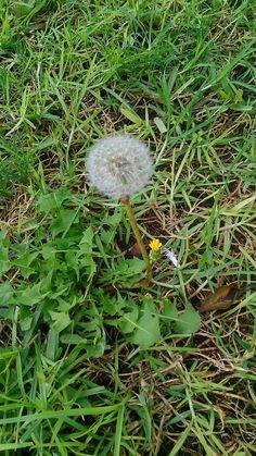 Día 14. Flores.  He encontrado un Dandelion en el Parque Doramas :').