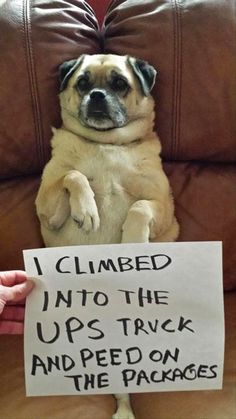 """I love this pug! """"I climbed into the UPS truck and peed on the packages."""" ~ Dog Shaming shame - Pug mix DRH was here. Funny Animal Pictures, Cute Funny Animals, Funny Cute, Funny Dogs, Funny Memes, That's Hilarious, Hilarious Photos, Silly Dogs, Pet Memes"""