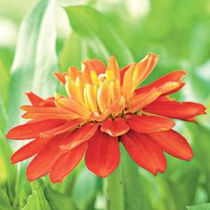 Double Zahara Fire Zinnia