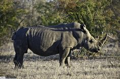 Sean examines whether legalising the #rhino trade in South Africa may save it from extinction.