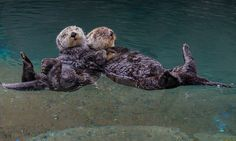 Otterly adorable: Dozy otters hold hands while taking a nap so they don't drift apart as they sleep   Read more: http://www.dailymail.co.uk/news/article-2421731/Otterly-adorable-Dozy-otters-hold-hands-taking-nap-dont-drift-apart-sleep.html#ixzz2f2wHPqxp