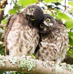 Sakata Gintoki: Young Brown Hawk Owl  #Lockerz