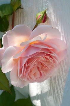 allthingsshabbyandbeautiful: flowersgardenlove: Rosa 'A Shropshire
