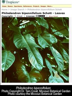 Philodendron bipinnifolium, Philodendron bipinnifolium Schott ex Endl, Exotic Rainforest rare tropical plants