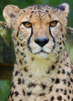 Occhi d'Ambra cheetah. Cheetah Conservation Botswana, Sept 2013.