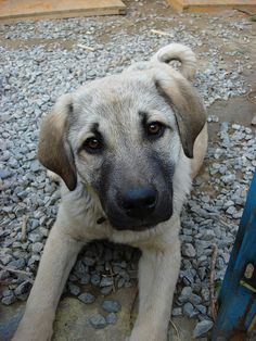 looks SO MUCH like my sweet mix pup Kira......Anatolian shepherd pup